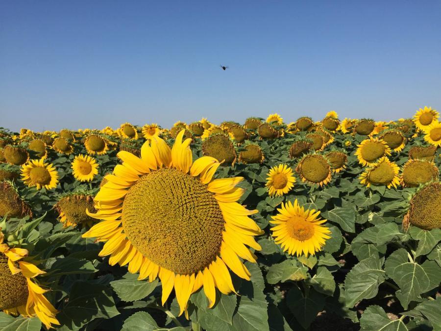 Bee Still Sunflower