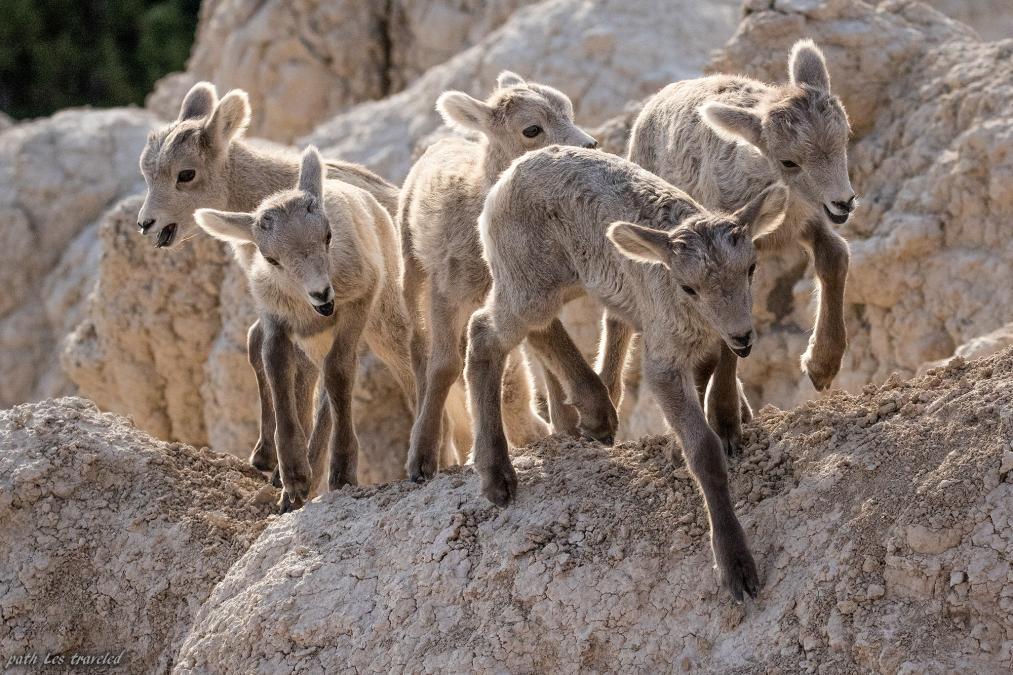 Badlands Bighorn Lambs