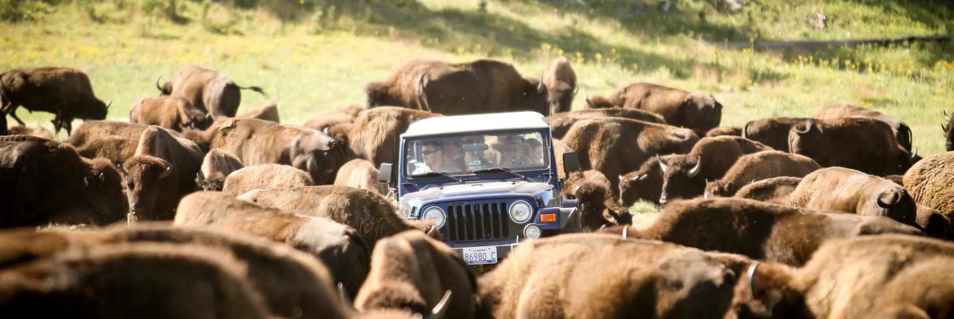 Buffalo Safari Jeep Rides | Custer State Park