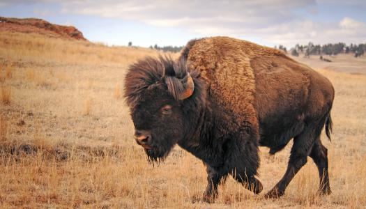 Patriarch of the Plains: Once Near Extinction, American Bison Herds Have Rebounded, Remain a Joy to Watch
