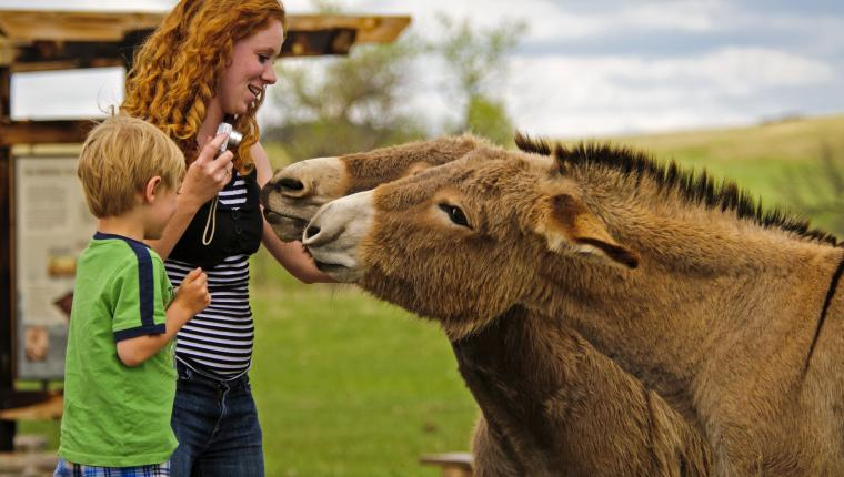 Special Friends: Custer State Park's Begging Burros Beckon You Back, Slobber and All