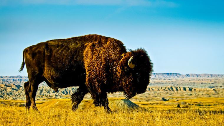 Bison (American Buffalo)