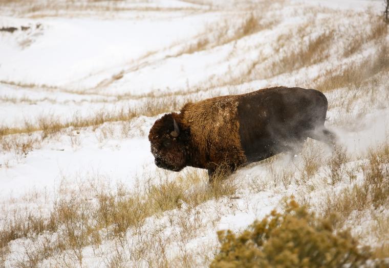 Bison Once Again Roaming the Badlands—Return of Tatanka