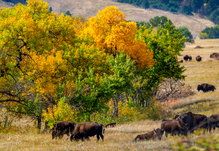 Fall in the Black Hills: Unparalleled Experience