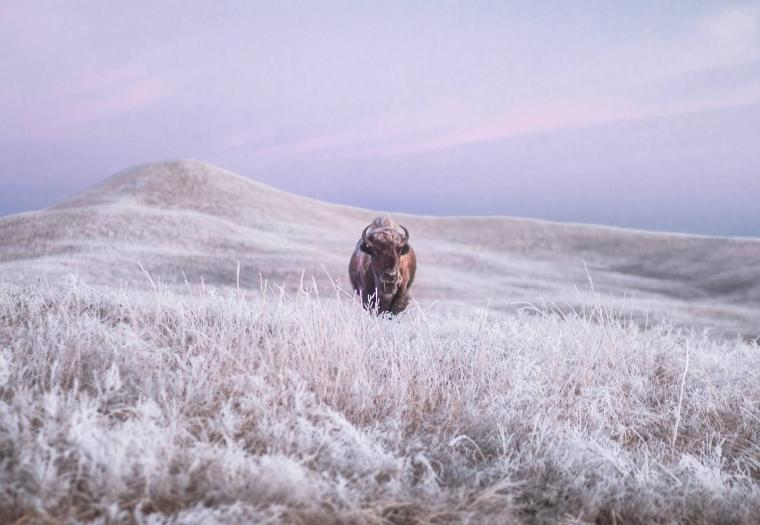 Walking Across the Grasslands of Custer State Park