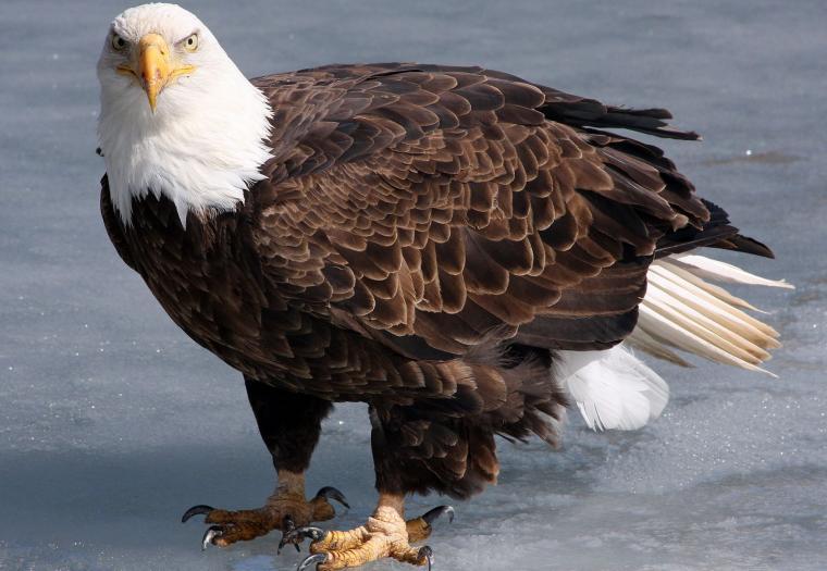 Eagle on the Ice