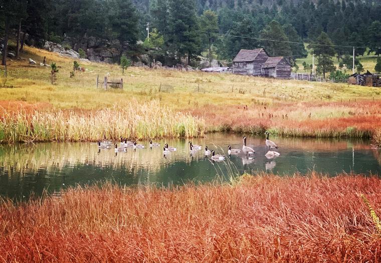 Geese Friends