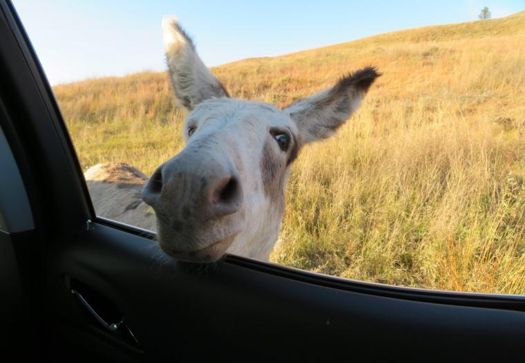 Friendly Burro at Custer State Park