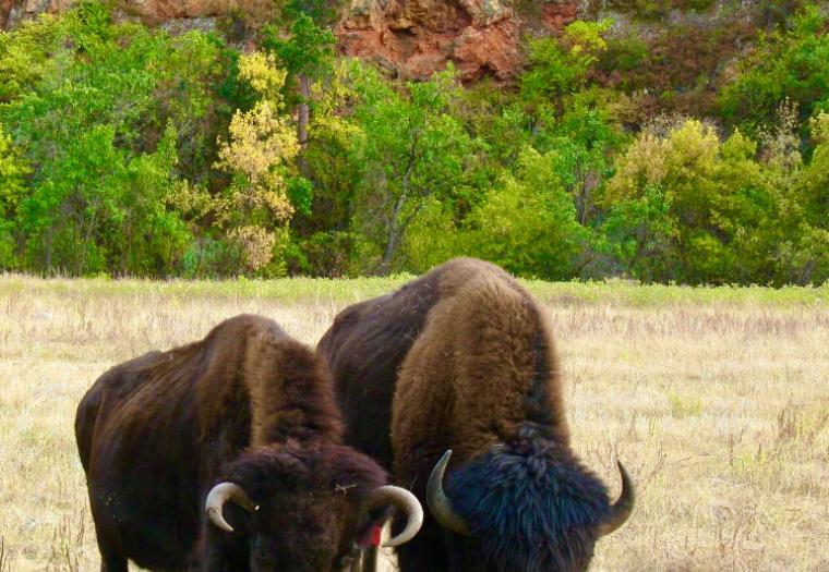 Buffalo Buddies