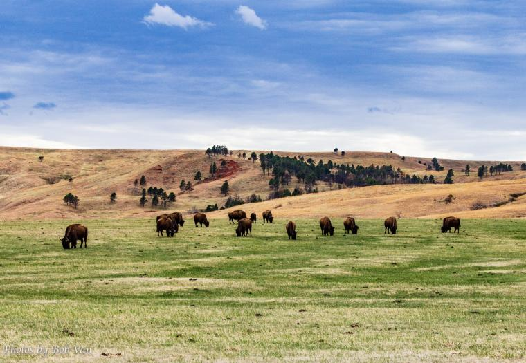 Social Distancing with the Bison