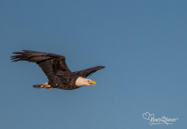 American Bald Eagle in the Northern Hills