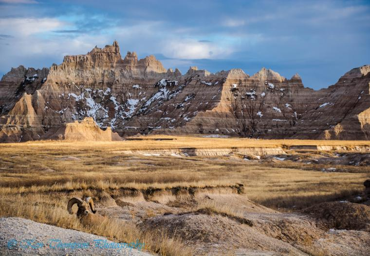 Bighorn Ram and Castle Butte in Badlands National Park