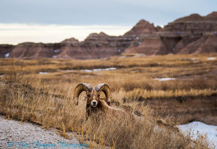 Badlands Bighorn