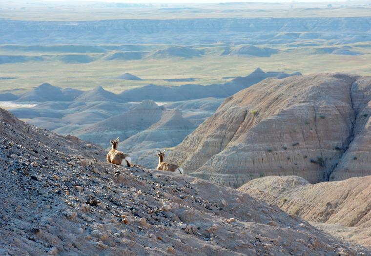 Bighorn in the Badlands