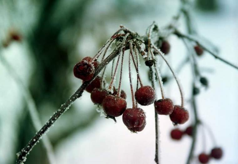Frosty Berries