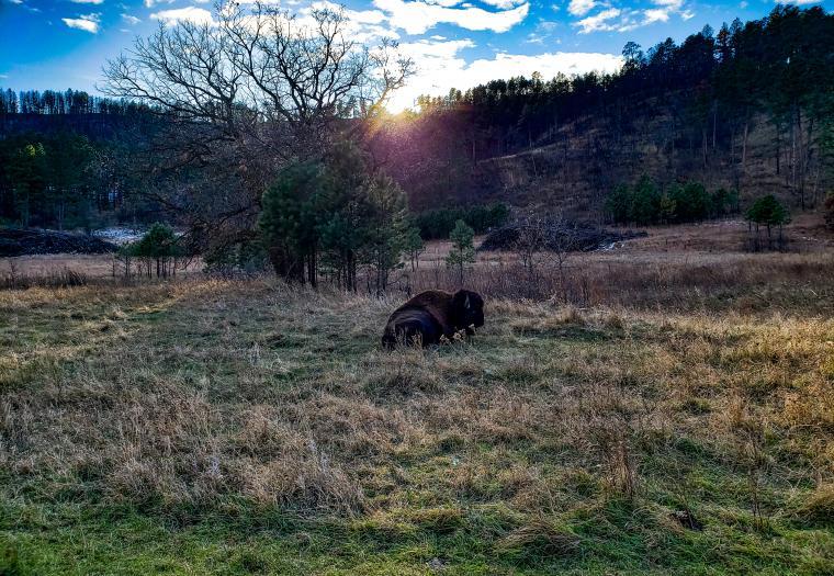Single buffalo