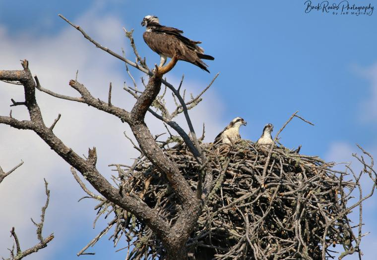 Osprey Life